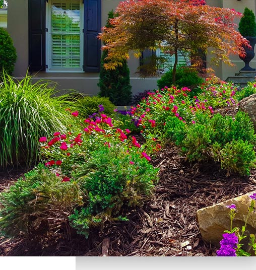red and purple flowers growing in mulched front yard