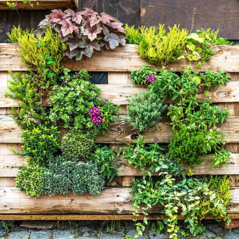 green vines and purple flowers growing on and hiding wooden fence