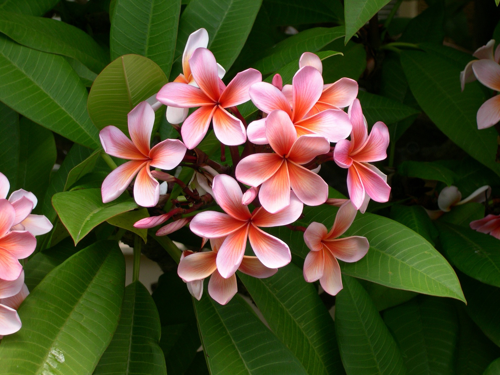 fragrant pink and white plumeria flower